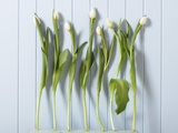 White Tulips in a Row