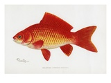 Goldfish (Carassius Auratus)