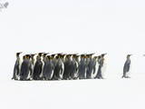 Adult King Penguins Standing in Spring Snow on South Georgia Island