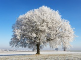 Lime Tree Covered with Frost Germany