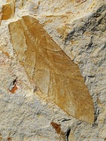Fossil Leaf of Seed Fern