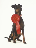 Manchester Terrier Wearing Award Ribbon