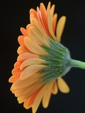 Close-Up of Orange Gerbera Daisy