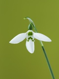 White and Green Orchid