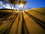 Poplar Trees on Sand Dunes in the Tengger Desert