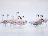 Lesser Flamingoes in Fog