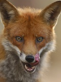Red Fox Licking its Lips