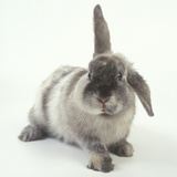 Gray Rabbit with Floppy Ear