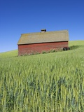 Barn Amongst Wheat Fields