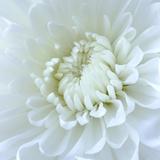 Close-up of White Flower Papier Photo par Clive Nichols