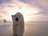 Sun Rising Behind Polar Bears