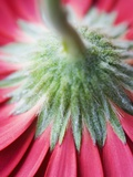 Close-Up of Back of Red Gerbera Daisy