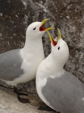 Black-legged Kittiwake Breeding Couple Greeting each Other