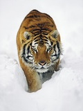 Male Siberian Tiger in Snow