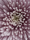 Close-Up of Pink Chrysanthemum