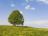 Lime Tree and Dandelion in Pasture