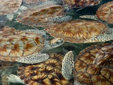 Juvenile Green Turtles in Captivity