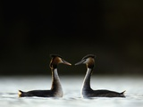 Great Crested Grebes in Courtship Display