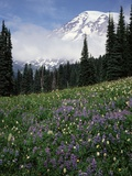 Wildflowers in Meadow Below Mt Rainier