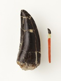 Adult Allosaurus Tooth and Baby Tooth on Match Stick