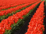 Rows of Red Tulips in Bloom in Skagit Valley