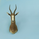 Mounted Blesbok