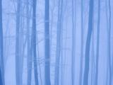 Beech Forest in Winter