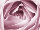 Close-up View of Pink Rose