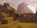 Llama Grazing at Machu Picchu