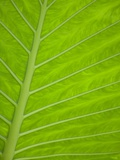 Close-up of Tropical Plant Leaf