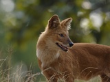 Dhole in Bandhavgarh National Park