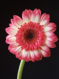 Gerbera Daisy on Dark Background