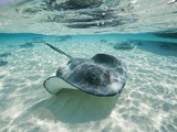 Raies du Sud nageant, Stingray City, Îles Cayman, CaraÏbes Papier Photo par Paul Souders