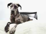 Great Dane on bed