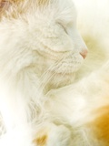 Close-up of a Turkish Van  a Swimming Cat