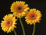 Three Gerbera Daisies on Dark Background
