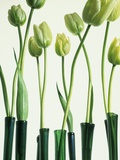 Green Tulips in Vases