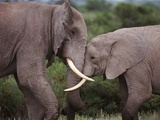 Elephant Love