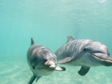Bottlenose Dolphins