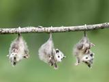 Baby Opossum Hanging from Branch Papier Photo par Frank Lukasseck