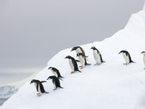 Penguins Walking to Edge of Iceberg