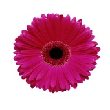Hot Pink Gerbera Daisy