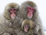 Japanese Macaque Family Papier Photo par Frank Lukasseck