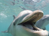 Bottlenose Dolphin Opening Mouth