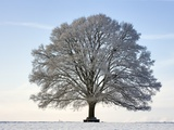 Snow-covered Oak Tree
