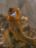 Golden Snub-Nosed Monkey with Baby