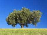 Olive Tree Growing in Corn Field