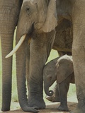 Elephant Adults with Young Elephant Calf