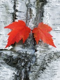Maple Leaves on Birch Papier Photo par Frank Krahmer