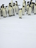 Group of Emperor Penguins Standing on Ice
